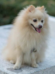 Sirius Red's Pomeranians - Dog and Puppy Pictures