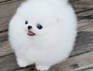 Toypomz Pomeranians - Dog Breeders