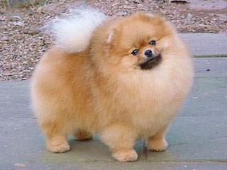 Eskapoo/Pomeranians For Sale - Dog Breeders