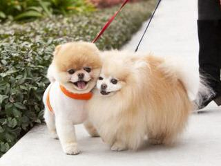 Cindy's Pomeranians - Dog and Puppy Pictures