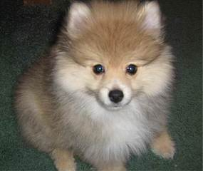 Tiny Toy Pomeranian Pups - Dog Breeders