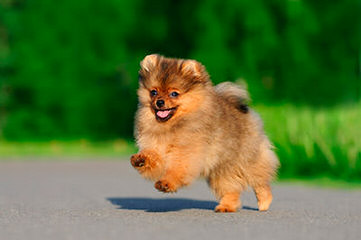 Dar-Lynn's Pomeranians - Dog Breeders