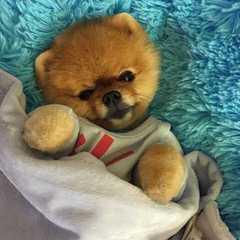 Pomsrule - Dog Breeders