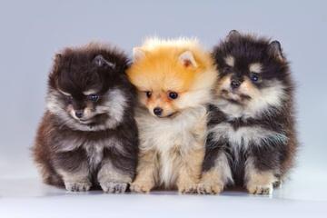 Shellelee Poms - Dog Breeders