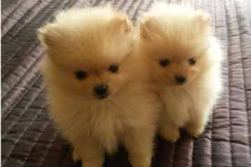 Hamaara Pomeranians - Dog and Puppy Pictures