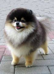 Female Pomeranian Looking For Male Pomeranian - Dog Breeders