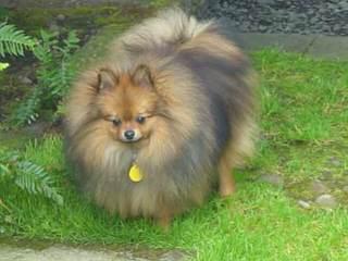 Krissy Pom - Dog Breeders
