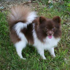 Eden Pomeranians – Specializing In Pet, Show And Breeding Quality Akc Pups - Dog Breeders