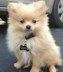 Avalon Pomeranians - Dog Breeders