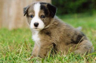 Eskie Poms - Dog Breeders