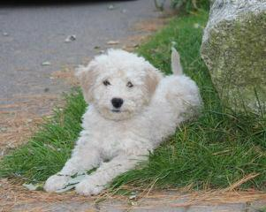 Female Pomimo - Dog and Puppy Pictures