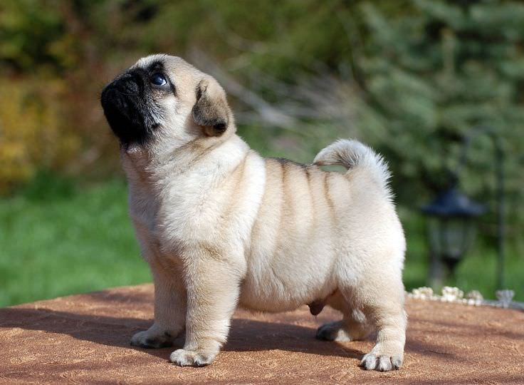Pug Dogs and Puppies