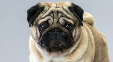 Rising Star Pugs - Dog Breeders