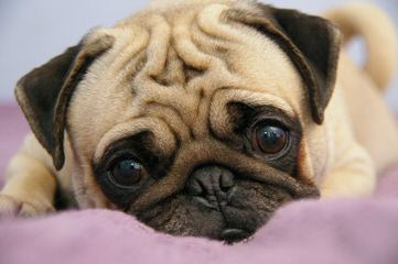 Beautiful Clement Pug kennel - Dog Breeders