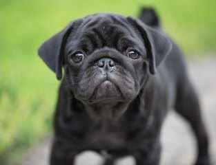 Boxer Pug Puppies. Akc. - Dog Breeders
