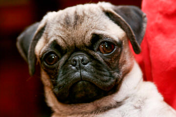 Roo Roo's pugs - Dog Breeders