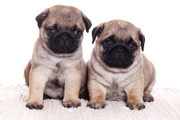 Kennel pug ARANJ - Dog Breeders