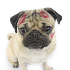 We Love Pugs - Dog Breeders