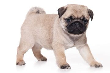 Morning Glory Puppies - Dog Breeders