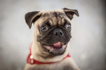 Barnes Pug - Dog Breeders