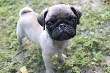 Boxer Pug Puppies. Akc. - Dog Breeders