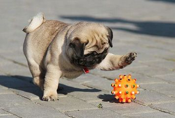 Action Alet Pug - Dog Breeders