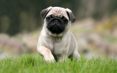 Roo Roo's pugs - Dog and Puppy Pictures