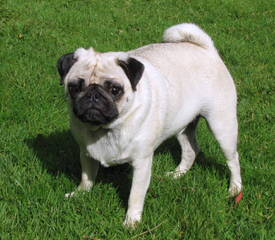 Precious Pug Puppies - Dog Breeders