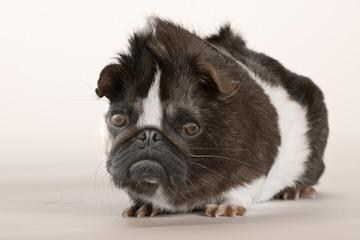 Denning Farms Pug - Dog Breeders
