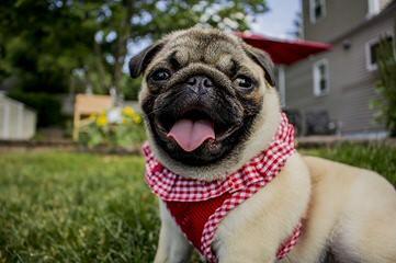LakeSide Pugs - Dog Breeders