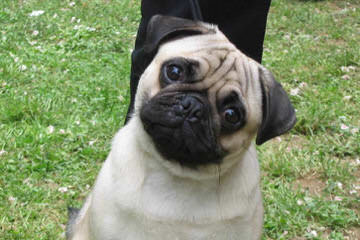 Pug Puppies - Dog Breeders