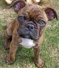 Pug - Dog Breeders