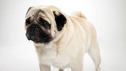 Precious Pug Puppies - Dog Breeders