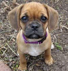 Pug Kennel – Mops Von Termel - Dog Breeders