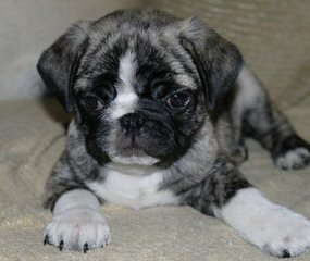 Ruuicha Shar-Pei & Pugs - Dog Breeders