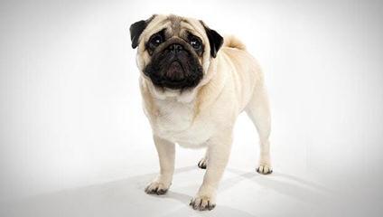 Roo Roo's pugs - Dog Breeders