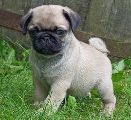1 Female Fawn Colored Puggle For Sale. - Dog Breeders