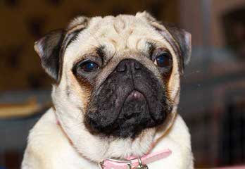 Sweet Temper Pugs - Dog Breeders