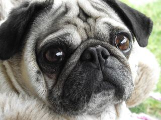 Excellent Pug Puppy Dogs For Sale - Dog Breeders