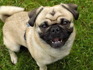Sweet Temper Pugs - Dog Breeders