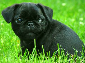 Pug - Dog Breeders