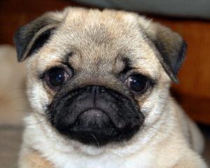Chugs - Dog Breeders