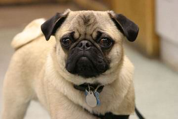 Pug Kennel – Mops Von Termel - Dog Breeders