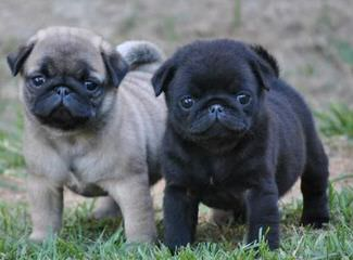 Barnes Pug - Dog Breeders