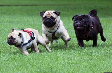 Pug – Plumsjewel - Dog Breeders