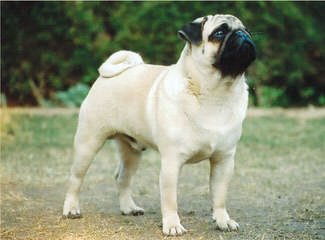 Akc Pug Puppies For Sale - Dog Breeders