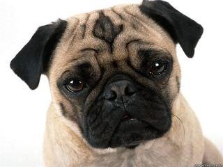Von Termel Mops / Pug Kennel - Dog Breeders