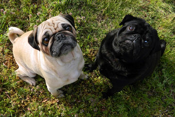 Rising Star Pugs - Dog Breeders
