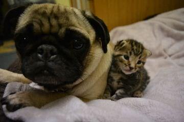 pug MILLE BASSI - Dog Breeders