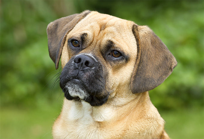 Puggle Dogs and Puppies